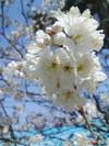 Sakuranbo